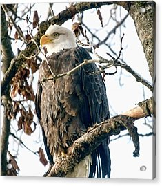 Eagle In A Tree Acrylic Print by Clarence Alford