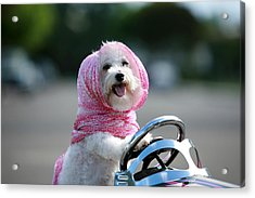 Fifi Goes For A Ride Acrylic Print by Michael Ledray