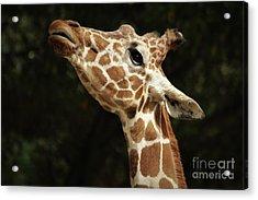 Giraffe Acrylic Print by Paulette Thomas
