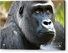 Gorilla Acrylic Print by Paulette Thomas