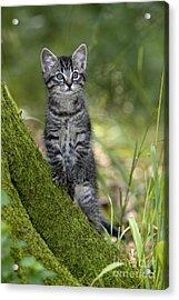 Kitten In A Mossy Tree Acrylic Print by Jean-Louis Klein & Marie-Luce Hubert