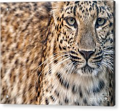Leopard Acrylic Print by White Stork Gallery
