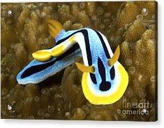 Nudibranch Feeding On Algae, Papua New Acrylic Print by Terry Moore