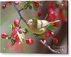 Orange-crowned Warbler Acrylic Print