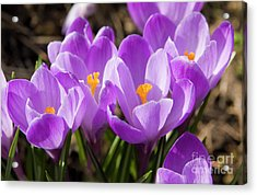 Purple Crocuses Acrylic Print by Irina Afonskaya