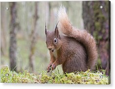 Red Squirrel - Scottish Highlands #8 Acrylic Print