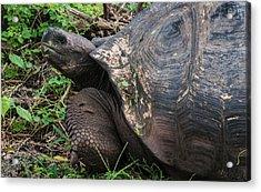 Santa Cruz Tortoise Acrylic Print by Harry Strharsky