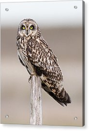Short Eared Owl Acrylic Print by Ian Hufton
