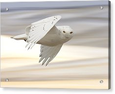 Snowy Owl In Flight Acrylic Print by Mark Duffy