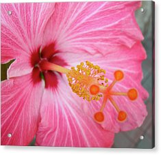 Acrylic Print featuring the photograph 5 Star Hibiscus by Randy Rosenberger