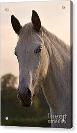 The Horse Portrait Acrylic Print by Angel  Tarantella