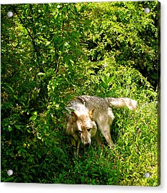 Acrylic Print featuring the photograph The Wild Wolve Group B by Debra     Vatalaro