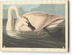 Trumpeter Swan Acrylic Print