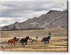 Virginia Range Mustangs Acrylic Print