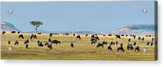 Wildebeests Connochaetes Taurinus Acrylic Print by Panoramic Images