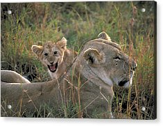 Angry Lion Cub Acrylic Print by Carl Purcell