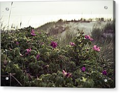 Rose Bush And Dunes Acrylic Print