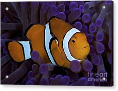 False Ocellaris Clownfish In Its Host Acrylic Print by Terry Moore