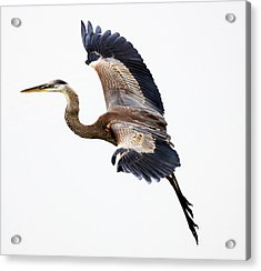 Great Blue Heron Acrylic Print by Paulette Thomas