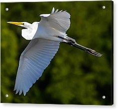 Great White Heron Acrylic Print by Brian Stevens