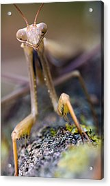 Mantis Acrylic Print by Andre Goncalves