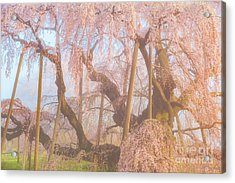 Acrylic Print featuring the photograph Miharu Takizakura Weeping Cherry07 by Tatsuya Atarashi