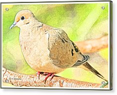 Mourning Dove Animal Portrait Acrylic Print