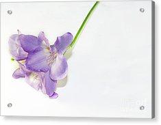Purple Freesia Acrylic Print
