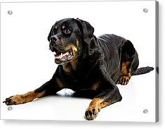 Rottweiler Dog Acrylic Print