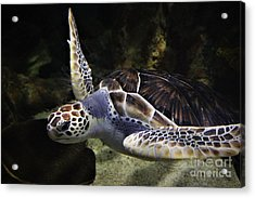 Sea Turtle Acrylic Print by Paulette Thomas