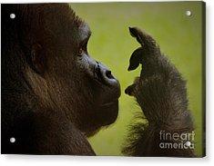 Silverback Gorilla Acrylic Print by Paulette Thomas
