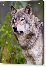 Timber Wolf Acrylic Print by Michael Cummings