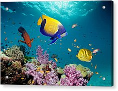 Tropical Reef Fish Acrylic Print by Georgette Douwma