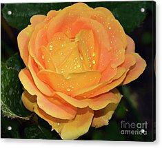 Beautiful Rose Acrylic Print by Elvira Ladocki