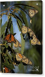 Butterflies Acrylic Print by Marc Bittan