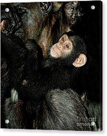 Chimpanzee Pan Troglodytes Acrylic Print by Gerard Lacz