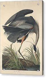 Great Blue Heron Acrylic Print by Dreyer Wildlife Print Collections