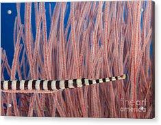 Malaysia, Marine Life Acrylic Print by Dave Fleetham - Printscapes