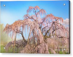 Acrylic Print featuring the photograph Miharu Takizakura Weeping Cherry29 by Tatsuya Atarashi