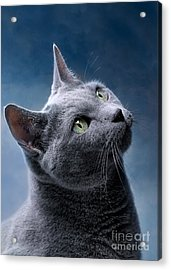 Russian Blue Cat Acrylic Print by Nailia Schwarz