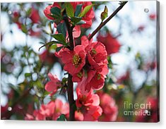 Tree Blossoms Acrylic Print by Elvira Ladocki