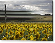 78 Sunflowers Acrylic Print