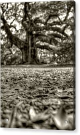 Angel Oak Live Oak Tree Acrylic Print by Dustin K Ryan
