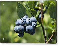 Blueberry Bush Acrylic Print