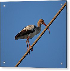 Acrylic Print featuring the photograph 8- Brown Ibis by Joseph Keane