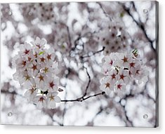 Cherry Blossoms Acrylic Print by Robert Ullmann
