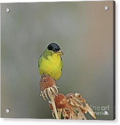 Lesser Goldfinch Acrylic Print