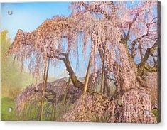 Acrylic Print featuring the photograph Miharu Takizakura Weeping Cherry08 by Tatsuya Atarashi