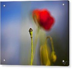 Mohnblume Acrylic Print by Renata Vogl