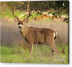 8-point Black-tailed Deer Buck Broadside Acrylic Print by Max Allen